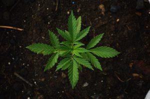 investir dans le cannabis